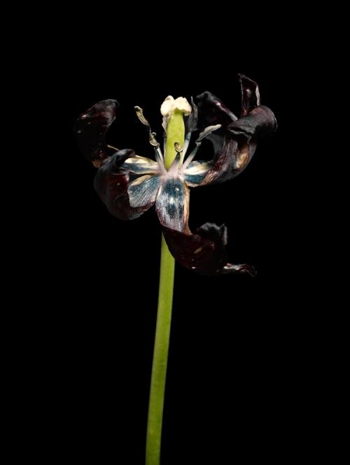 Photo tirée de la série Fading Tulips, de Jon Shireman. Tous droits réservés.