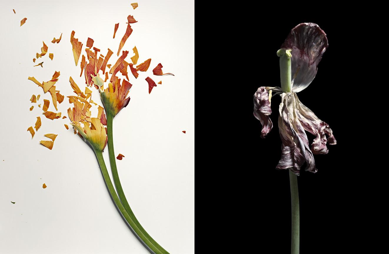 Frozen Flowers et Fading Tulips, deux séries de Jon Shireman